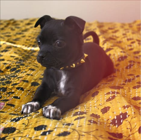 puppy spiked leather dog collar