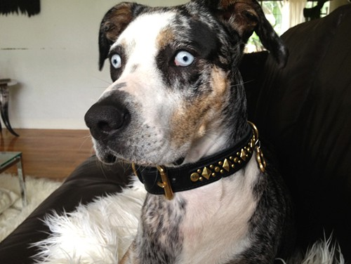 diamond jack custom leather dog collar