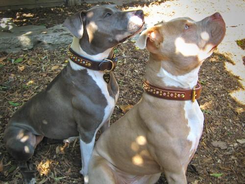 pit bull jeweled leather dog collar
